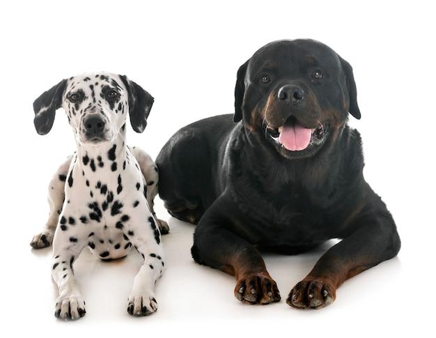 Dalmatian and rottweiler Premium Photo
