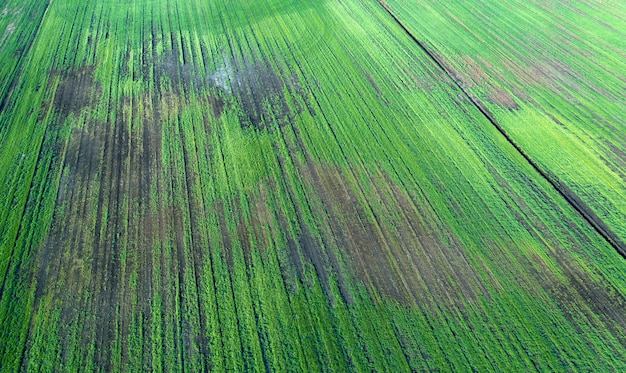 Damaged crops in the field. due to poor breed conditions, or poor soil or disease. sick agricultural crops. Premium Photo