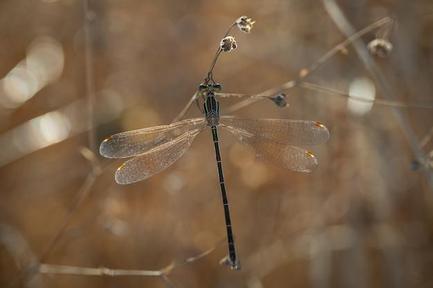 自然環境でイトトンボ。 Premium写真