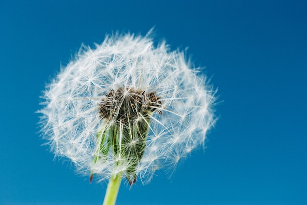 Dandelion close up in blue sky background Premium Photo