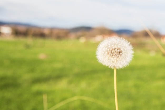 Dandelion, fragile and volatile with the wind Premium Photo