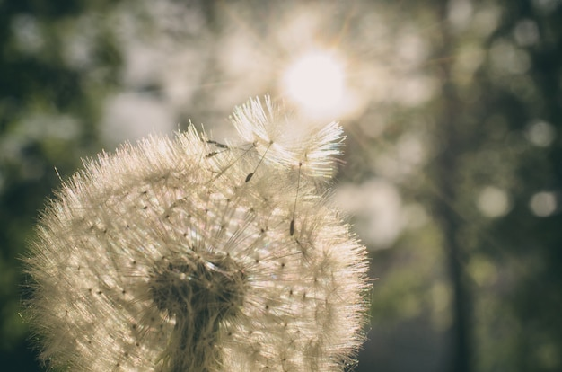 Dandelion with seeds flying to the sun Premium Photo