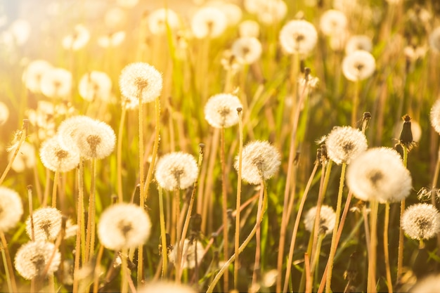 Dandelions growing on big field in sunny day Free Photo