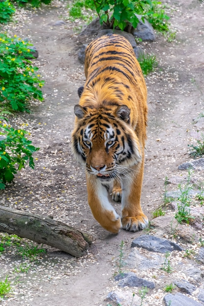 A dangerous big tiger sneaks among the thickets. tiger stalking prey. Premium Photo