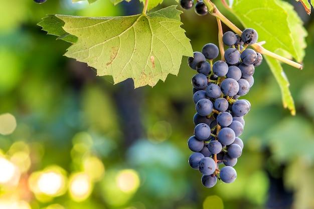 明るい太陽に照らされたダークブルーの熟成ブドウの房 Premium写真