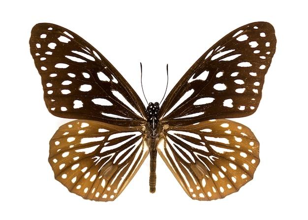 Синяя тигровая бабочка на белом фоне Premium Фотографии