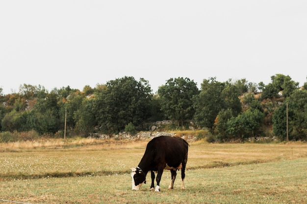 Dark brown cow grazing on a field in the countryside Free Photo