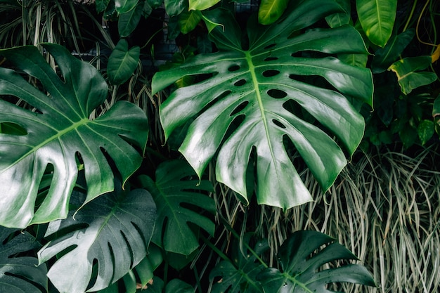 Dark green leaves monstera or split leaf philodendron Premium Photo