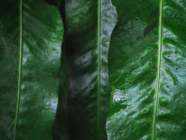 露の滴のクローズアップと濃い緑の葉。マクロの影に雨滴のある豊かな緑。雨天で緑の織り目加工の植物の自然な背景。 Premium写真