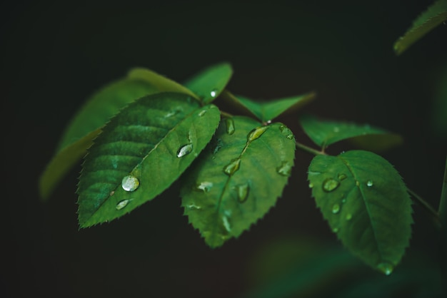Dark green leaves with dew drops close-up with copy space. Premium Photo