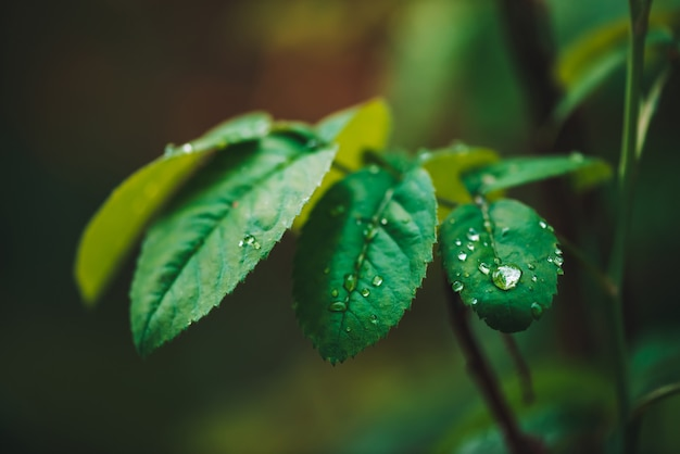Dark green leaves with dew drops. rich greenery with raindrops. green plants in rainy weather. Premium Photo