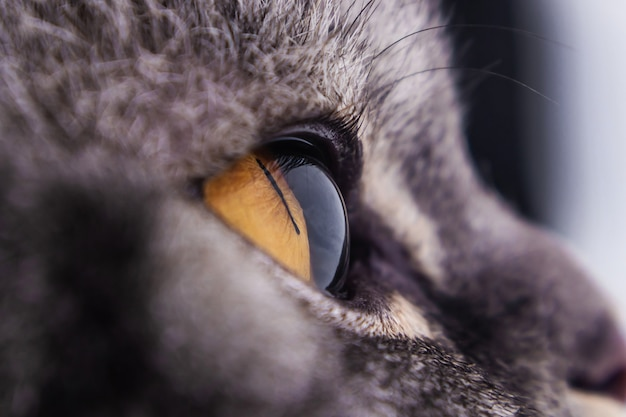 Dark yellow cat's eye close up. black striped cat series. Premium Photo