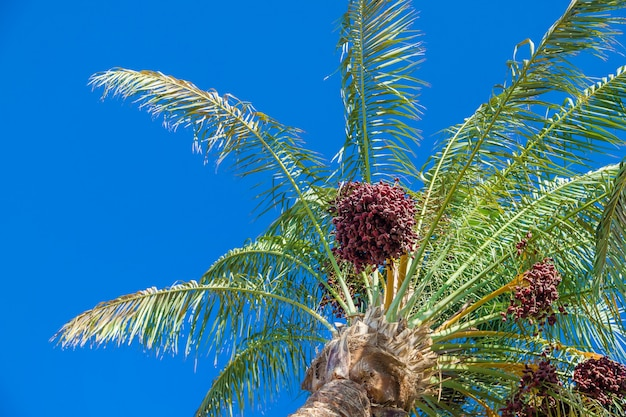 Date palm trees Premium Photo