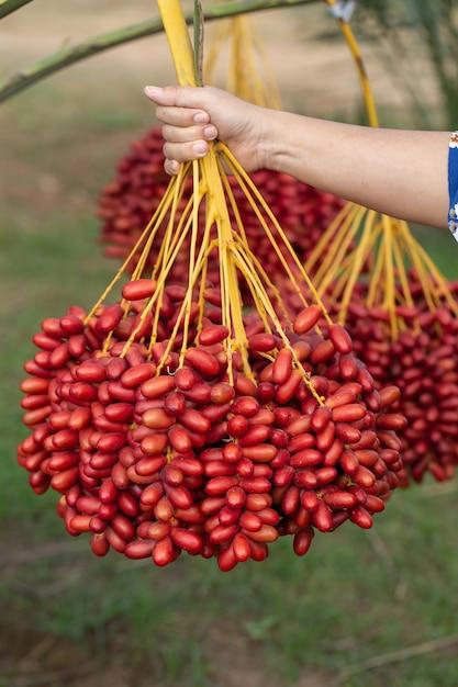 ナツメヤシの木に手でフルーツヤシの木の実。タイ北部で栽培 Premium写真