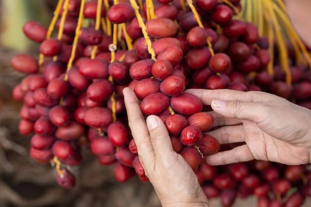 ナツメヤシの木にナツメヤシの果実。タイ北部で栽培 Premium写真