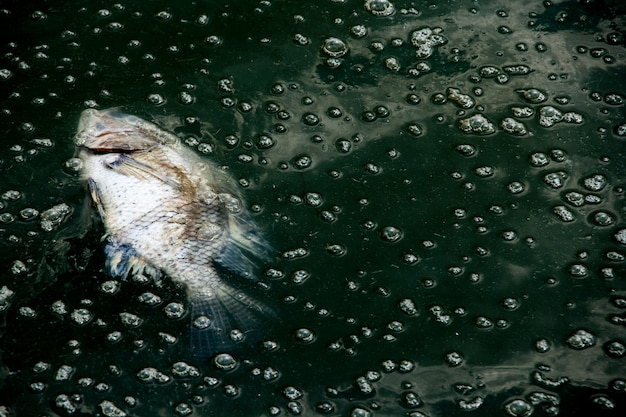 Dead fis on waste water Premium Photo