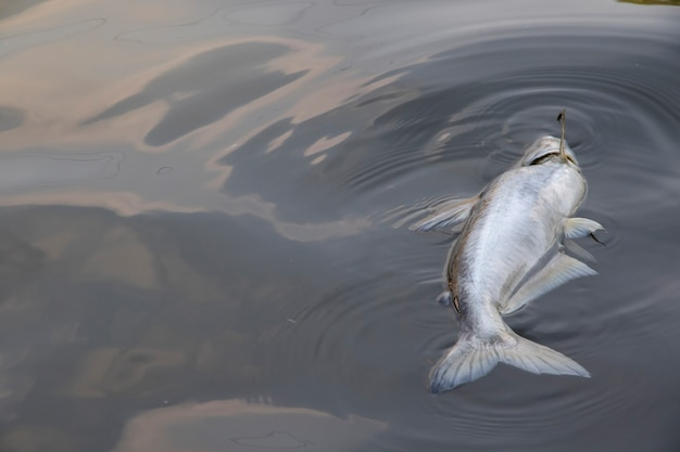 Dead fish floating in the waste water Premium Photo