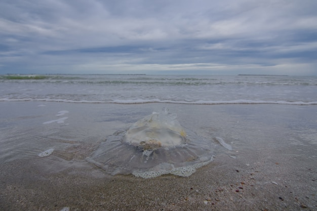 Dead jellyfish stranded on the beach. Premium Photo