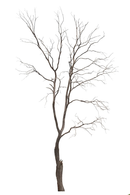 Dead tree or dried tree isolated on white background. Premium Photo