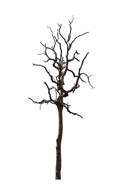Dead tree or dried tree isolated on white.clipping path. Premium Photo
