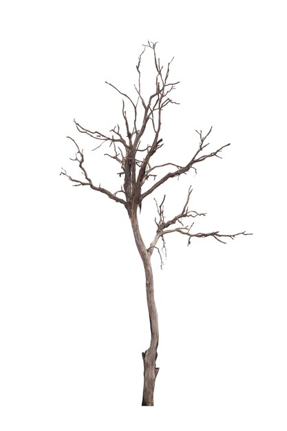 Dead tree or dried tree isolated on white Premium Photo