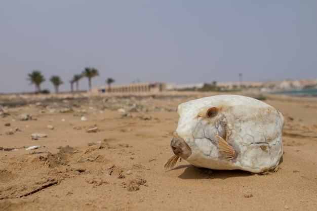 Dead white fugu fish on the sand. Premium Photo