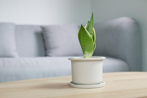 Декоративный завод sansevieria на деревянном столе в живущей комнате. sansevieria trifasciata prain в сером керамическом горшке. Premium Фотографии