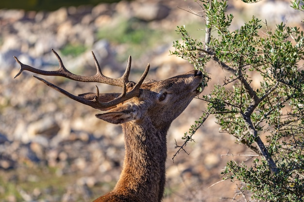Deer eating in the monfrague national park. extremadura. spain. Premium Photo