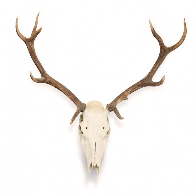 Deer skull hanging on the wall Free Photo