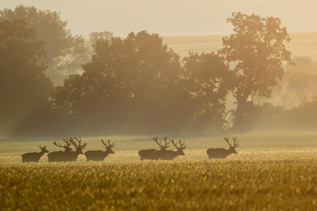 Оленьи олени мигрируют через поле рано утром Premium Фотографии