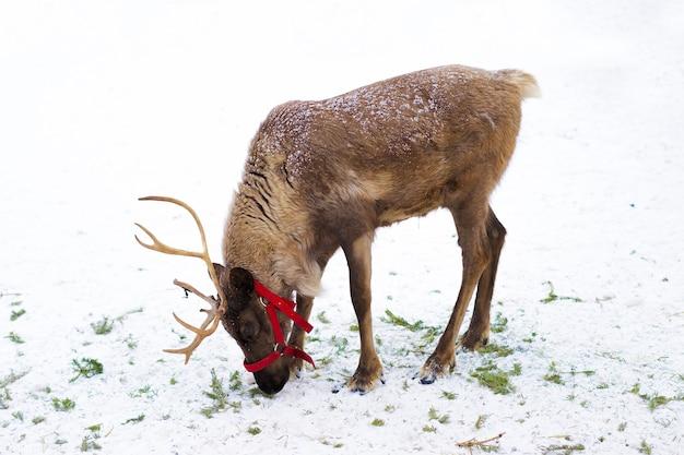 枝角のある鹿、雪の中の角。北の動物農場 Premium写真