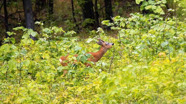 Deer with small horns and orange fur in lush greenery in a forest in moldova Free Photo