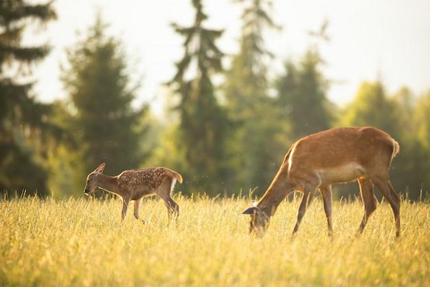 Олени, пасущиеся на поле с травой Premium Фотографии