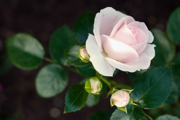 繊細な咲くピンクのバラと3つの閉じたつぼみ Premium写真