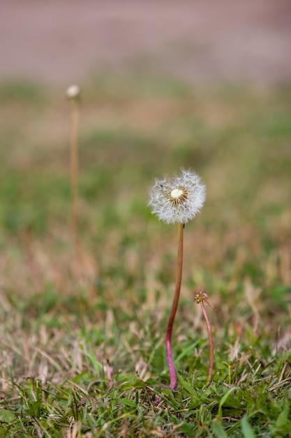 草の中にパラシュートで繊細なタンポポ Premium写真