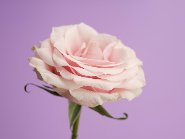 Delicate rose on purple background Free Photo
