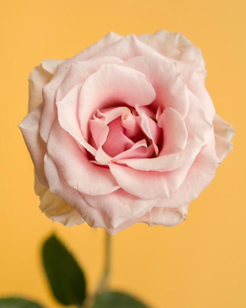 Delicate rose on yellow background Free Photo
