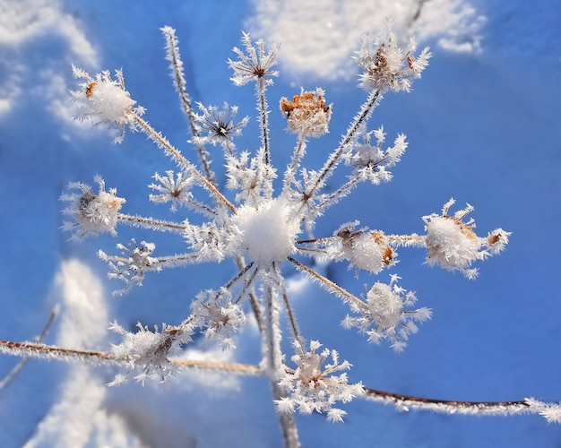Delicate  vegetation covered by frost  under blue sky Premium Photo