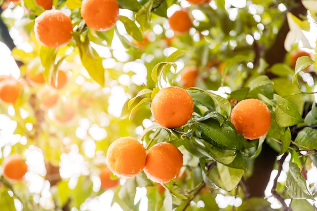 Delicious orange citrus in the tree Free Photo
