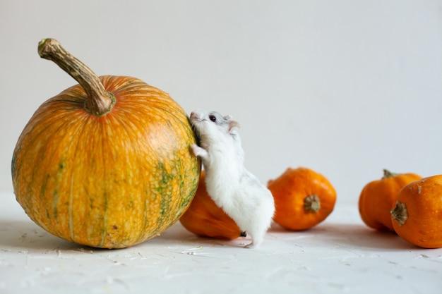 おいしいオレンジカボチャの健康的な食事とフルーティーな白とかわいいハムスター、カードの背景とハロウィーンの調整 Premium写真