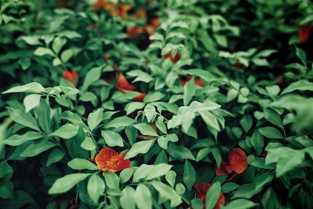 ブッシュの赤いdelonix regia Premium写真