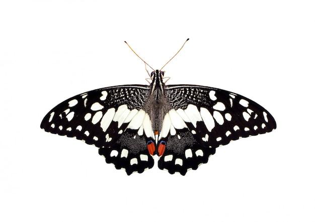 ライムバタフライ(アゲハdemoleus)白い背景で隔離のイメージ Premium写真