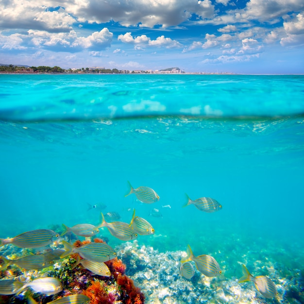 Denia alicante marineta casiana beach fishes underwater Premium Photo