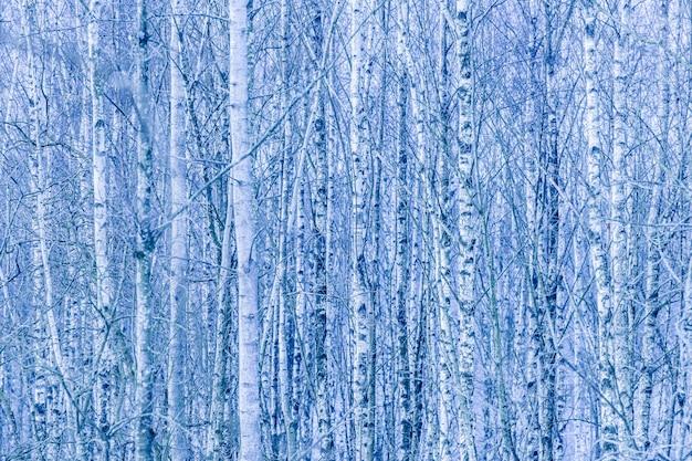 Густой лес из голых берез зимой Бесплатные Фотографии