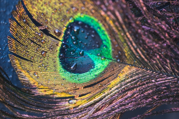Detail of beautiful exotic peacock feather with water drop Free Photo