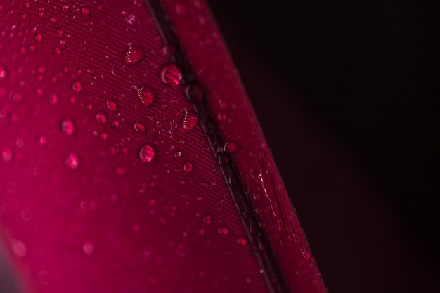 Detail of droplets on the red feather against black background Free Photo