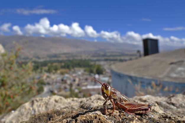 Деталь умирающего кузнечика (acrididae), который перед смертью больше не прыгает и позволяет сфотографировать. Premium Фотографии