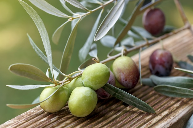 Premium Photo Detail Of Olive Tree Branch Closeup Of Green Olives Fruits And Leaves