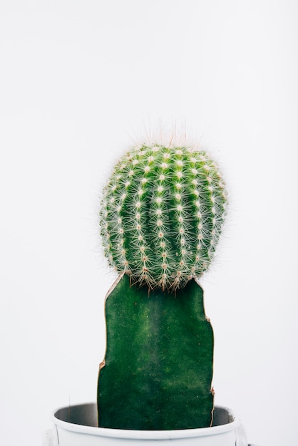 Detail shot of green cactus plant in pot over white background Free Photo