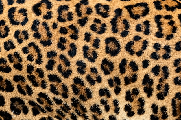 Detail skin of leopard. Premium Photo